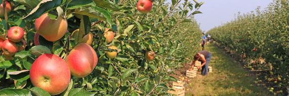 Een boomgaard met enkele appelplukkers.